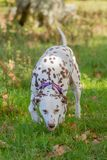 Dalmatian, fígado e branco imagens de stock royalty free
