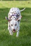 Dalmatian, fígado e branco imagens de stock
