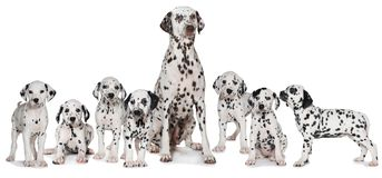 Dalmatian female dog with her puppies. Isolated on white background stock photography