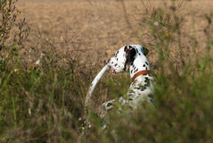 Dalmatian in the fields Stock Image