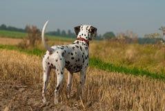 Dalmatian in the fields Stock Photo