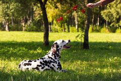 Dalmatian in forest. Young dalmatian lies on grass and looking at master with ashberry branch at sunny day Royalty Free Stock Photography