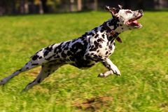 Dalmatian in forest. Young dalmatian running and looking forward at sunny day Stock Photos