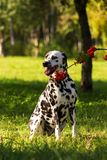 Dalmatian in forest. Young dalmatian sitting on grass and looking at you with ashberry branch at sunny day Royalty Free Stock Images