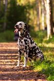 Dalmatian in forest. Young dalmatian sitting on pathway and looking forward at sunny day Royalty Free Stock Photos