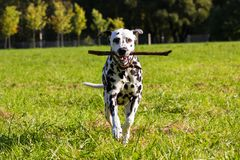 Dalmatian in forest. Young dalmatian running with stick at its mouth and looking at camera Stock Photography