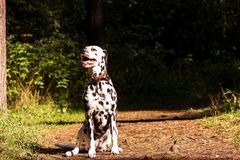 Dalmatian in forest. Young dalmatian sitting and looking forward at sunny day Stock Image