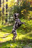 Dalmatian in forest. Young dalmatian stand on back paws and dance in forest at sunny day Stock Photo