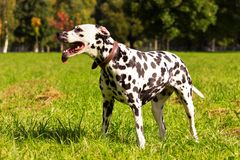 Dalmatian in forest. Young dalmatian standing and looking forward at sunny day Royalty Free Stock Photo