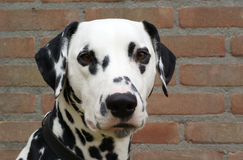 dalmatian framdel upp Royaltyfri Bild