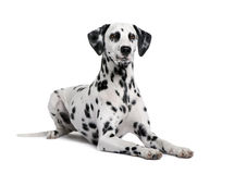 Dalmatian in front of white background Royalty Free Stock Images