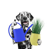 Dalmatian gardener dog with flower and watering can isolated on white Royalty Free Stock Photo