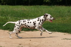Dalmatian in grass. Dalmatian dog running in grass Stock Photo
