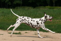 Dalmatian in grass Royalty Free Stock Photos