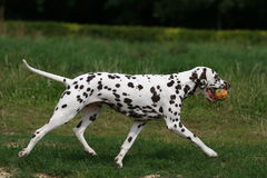 Dalmatian in grass Royalty Free Stock Images