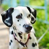 Dalmatian Royalty Free Stock Images