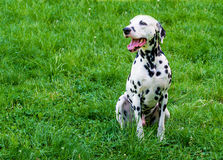 Dalmatian grin. The Dalmatian is on the green grass stock photo