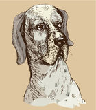 Dalmatian head - hand drawn illustration -sketch in vintage styl Royalty Free Stock Images
