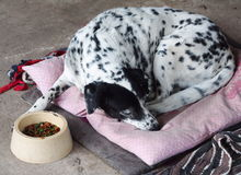 Dalmatian. Head shot close up of a black and white dalmatian dog no purebred laying on pillow on the gray color concrete garage floor outdoor under direct royalty free stock photos