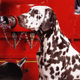 Dalmatian headshot Royalty Free Stock Photography