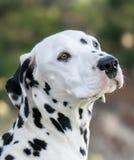 Dalmatian hermoso Imágenes de archivo libres de regalías