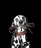Dalmatian is holding the leash. In its mouth Royalty Free Stock Images