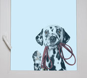 Dalmatian is holding the leash in its mouth looking through the. Window stock photos