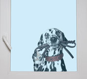 Dalmatian is holding the leash in its mouth looking through the. Window royalty free stock photography