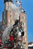 Dalmatian horse in cariage Krakow Stock Image