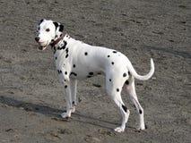 dalmatian hund royaltyfri foto