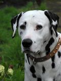 Dalmatian hund royaltyfria foton