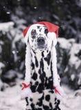 Dalmatian hund i en hatt av Santa Claus i skogen Arkivbild