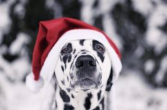 Dalmatian hund i en hatt av Santa Claus i skogen Arkivfoto