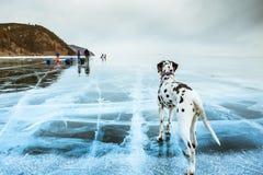 Dalmatian hund i vinter i snö royaltyfri bild