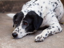 Dalmatian hund ingen fullblod Royaltyfri Foto