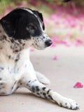 Dalmatian hund ingen fullblod Royaltyfria Foton