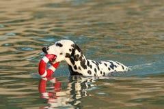 Dalmatian hund med vattenleksaken i sommar Arkivfoto