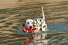 Dalmatian hund med vattenleksaken i sommar Royaltyfri Fotografi