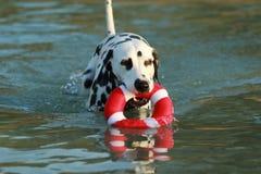 Dalmatian hund med vattenleksaken i sommar Royaltyfri Bild