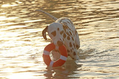 Dalmatian hund med vattenleksaken i sommar Arkivbild