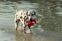 Dalmatian hundanseende i en sjö med hundleksaken Arkivbild
