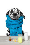 Dalmatian is  ill. And drinks the medication Stock Images