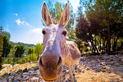 Dalmatian island donkey in nature Royalty Free Stock Photos