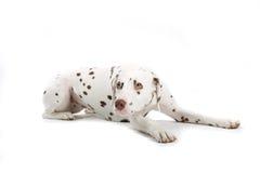 Dalmatian joven imágenes de archivo libres de regalías