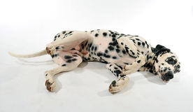 Dalmatian laid down Royalty Free Stock Image