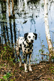 Dalmatian on lake banks. Dalmatian dog standing on banks of lake with autumn leaves Stock Photo