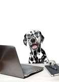 Dalmatian with laptop and notebook. White background royalty free stock photo