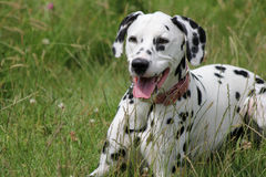 Dalmatian laying in meadow Stock Photo