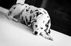 Dalmatian laying on white carpet Royalty Free Stock Photos