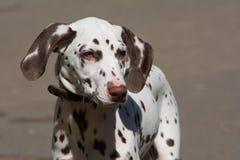 Dalmatian in leather collar Stock Photo